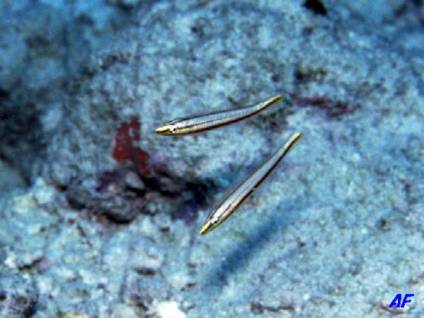 シロタスキベラ Hologymnosus doliatus