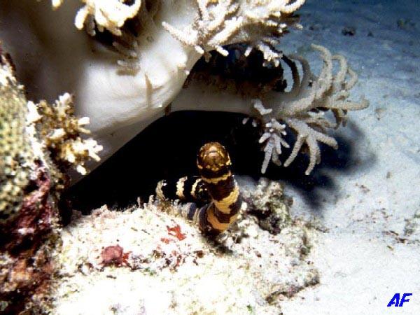 イイジマウミヘビ Emydocephalus ijimae