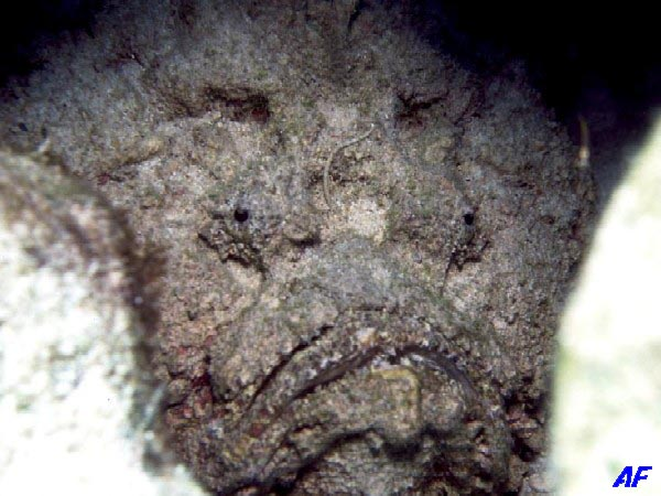オニダルマオコゼ Synanceia verrucosa