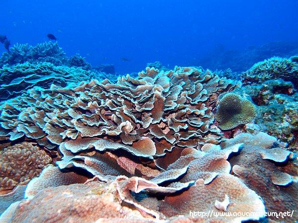 リュウキュウキッカサンゴ Echinopora lamellosa