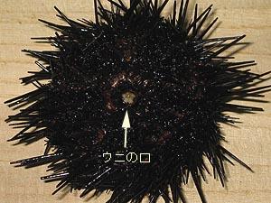 ウニの画像 p1_15