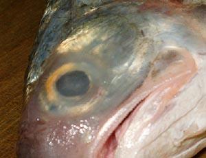 ツバメコノシロの脂瞼