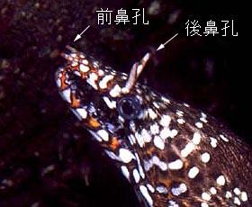 トラウツボの鼻孔