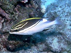 フタスジタマガシラ 成魚