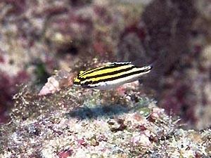 フタスジタマガシラ 幼魚
