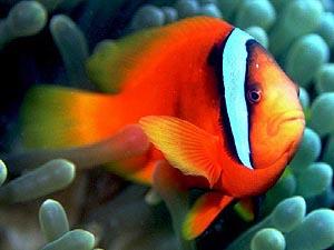 ハマクマノミ 成魚