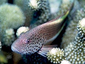 ホシゴンベ 成魚