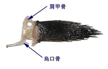 メバルの鯛の鯛と胸鰭